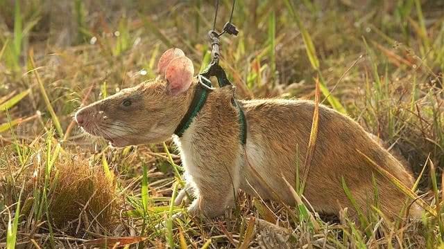 Гамбийская крыса на прогулке