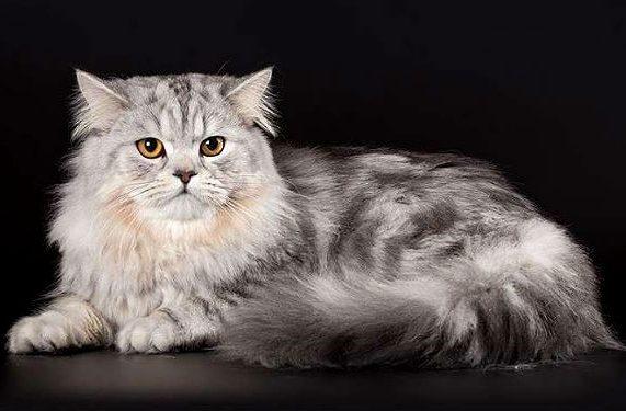 Серая кошка хайленд-страйт
