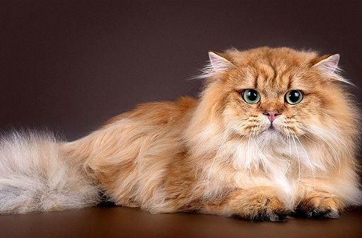 Рыжая кошка хайленд-страйт