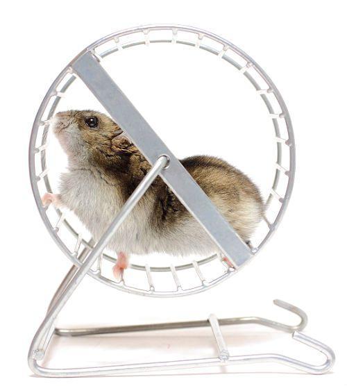 Как дрессировать хомяка - бег в колесе