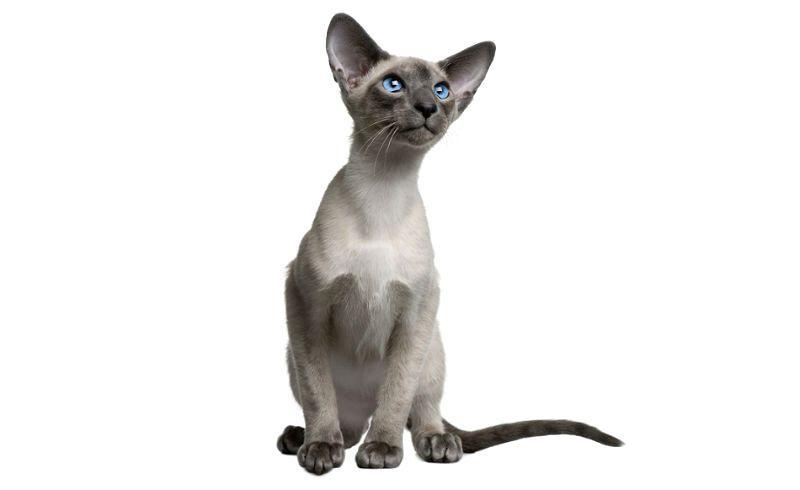 Клички для сиамских кошек девочек