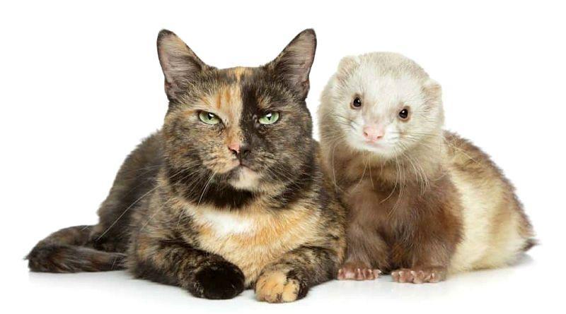 Как помочь ужиться кошке и хорьку - главное фото