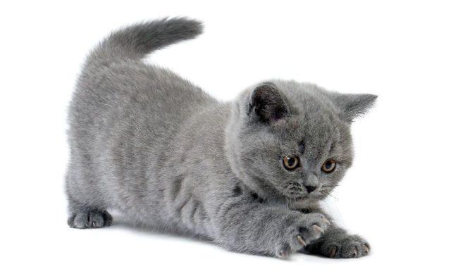 Как ухаживать за британскими котятами