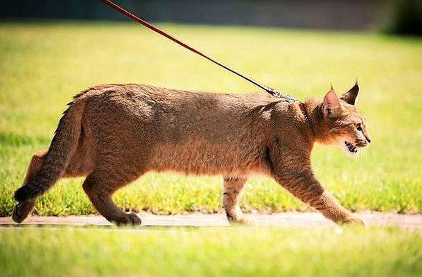 Кошка каракет на прогулке