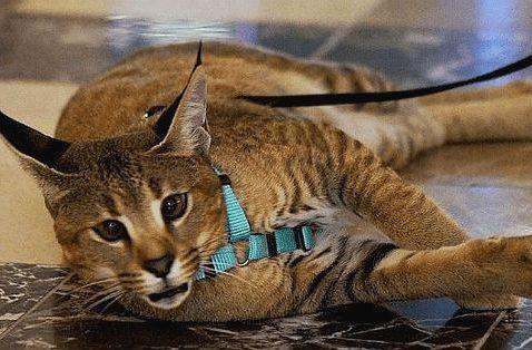 Кошка каракет с поводком
