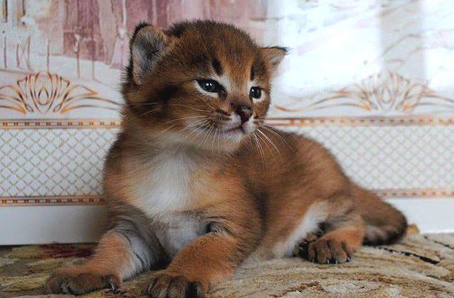 Маленький котенок каракет