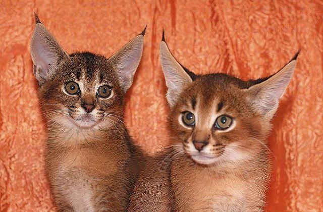 Котята породы каракет