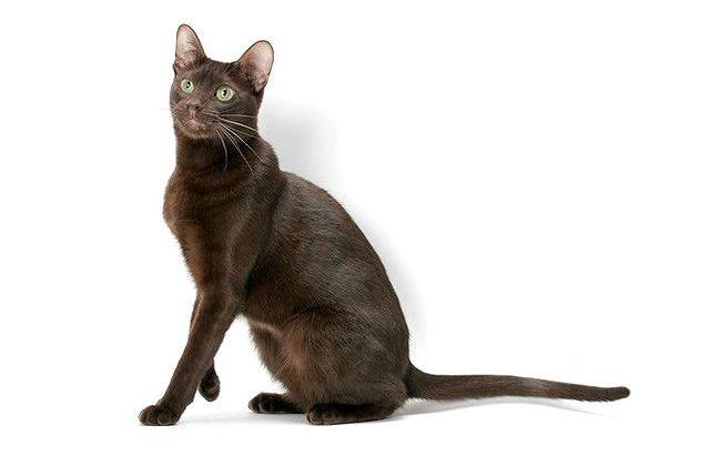 Кошка гавана браун сидит