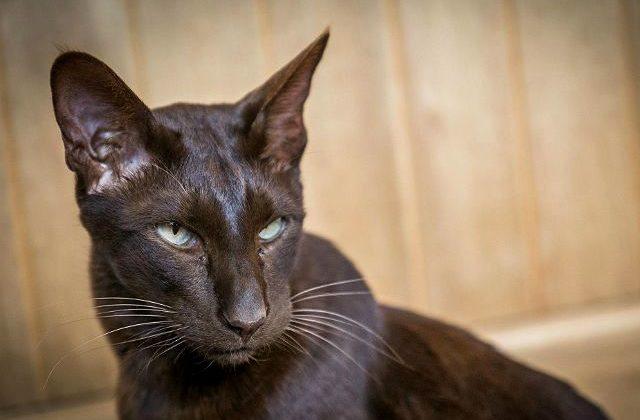 Кошка гавана браун - глаза, морда