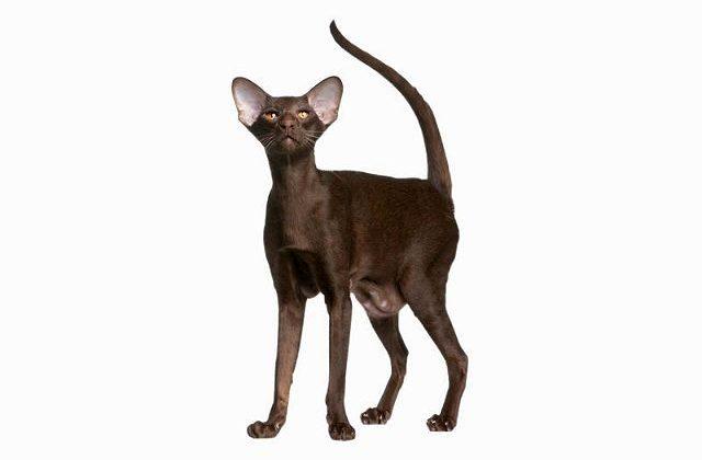 Кошка гавана браун в полный рост