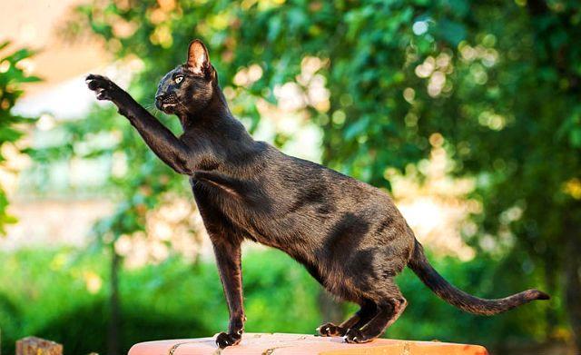 Кошка гавана браун - физическая активность