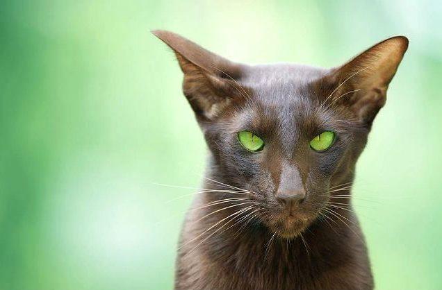 Кошка гавана браун - голова