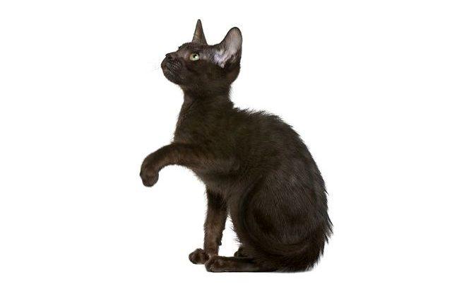 Котенок гавана