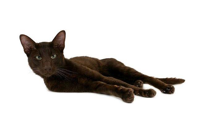 Кошка гавана браун лежит