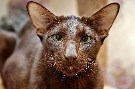 Кошка гавана браун - морда