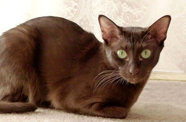 Кошка гавана браун в домашних условиях