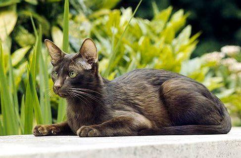 Кошка гавана браун на фоне зелени