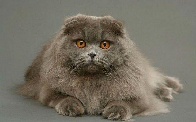 Кошка хайленд-фолд - главное фото