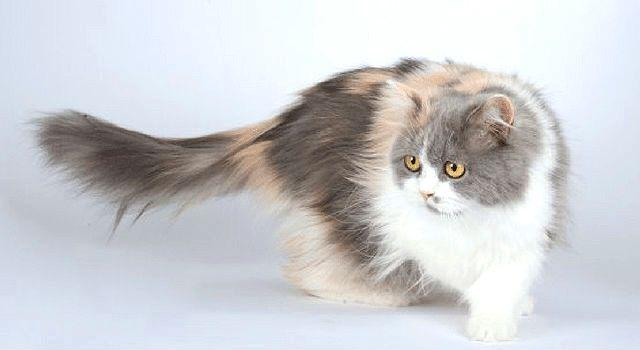 Кошка хайленд-фолд - окрасы