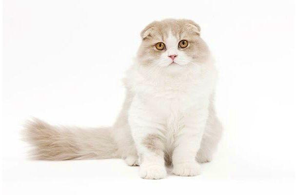 Кошка хайленд-фолд - вид спереди