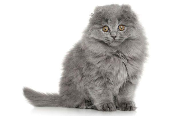 Котенок хайленд-фолд