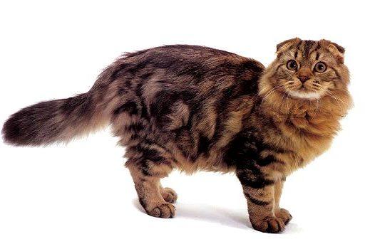 Кошка хайленд-фолд - вид сбоку