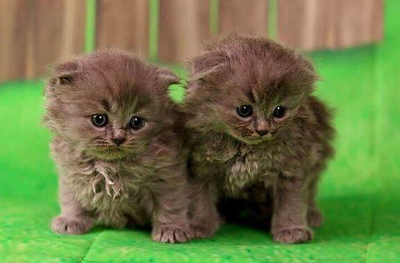 Котята породы хайленд-фолд