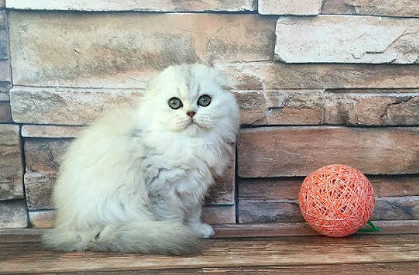 Белая кошка хайленд-фолд