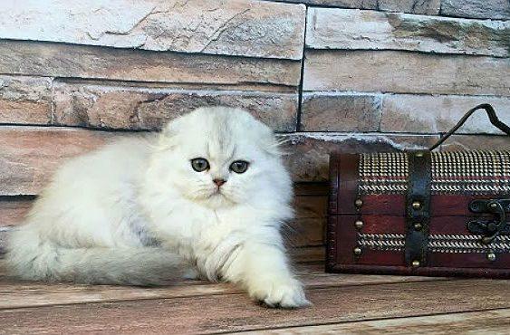 Кошка хайленд-фолд белого окраса