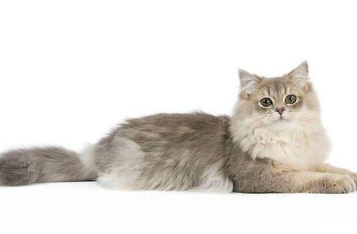 Кошка хайленд-страйт лежит