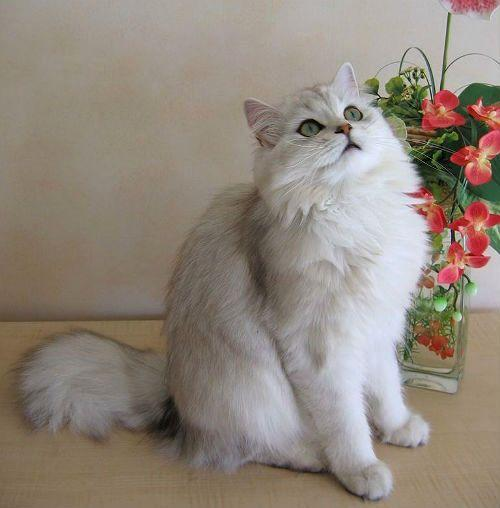 Кошка хайленд-страйт - уход за шерстью