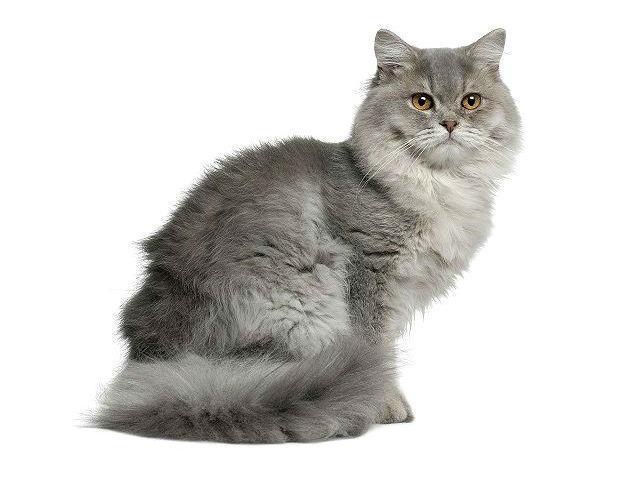 Хайленд-страйт - длинношерстная шотландская кошка