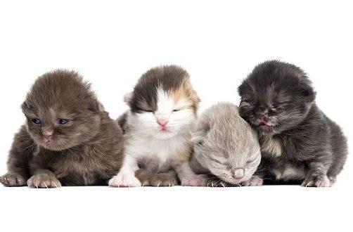 Хайленд-страйт - новорожденные котята