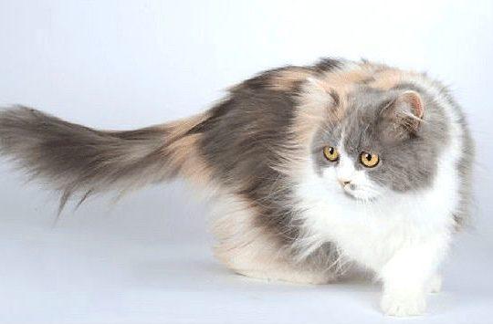 Кошка хайленд-страйт - внешний вид