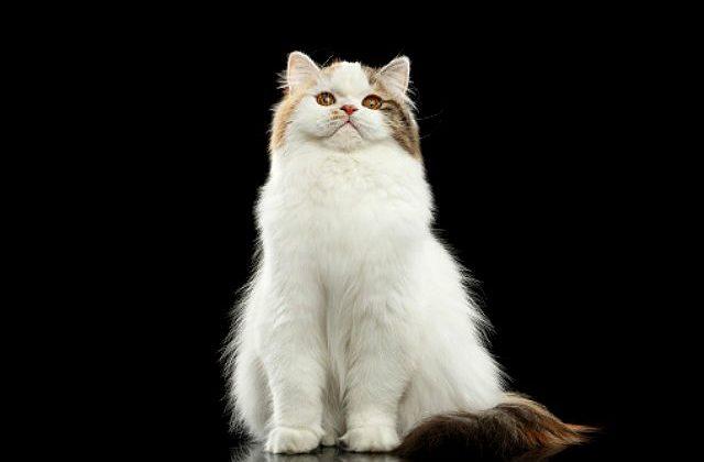 Кошка хайленд-страйт - вид спереди