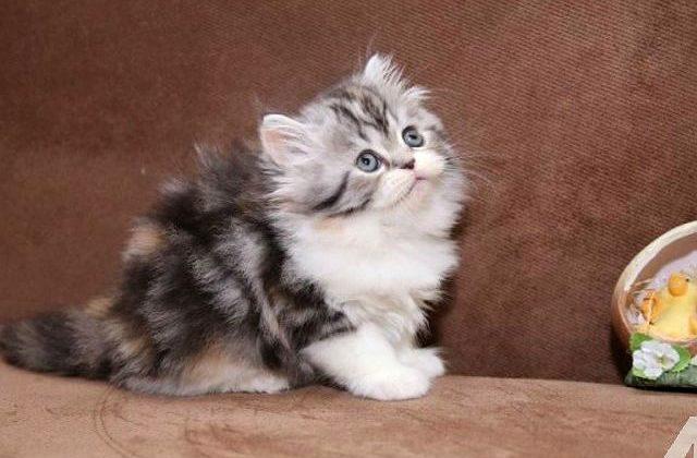 Пушистый котенок хайленд-страйт