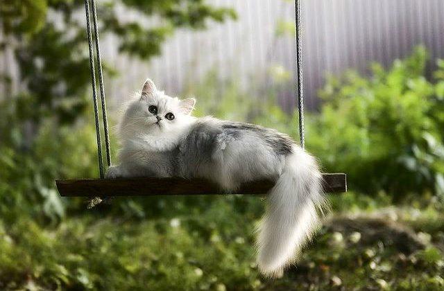 Кошка хайленд-страйт на качели