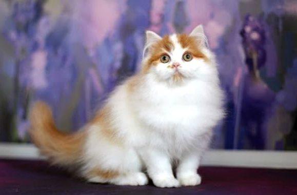 Кошка хайленд-страйт с бело-рыжим окрасом