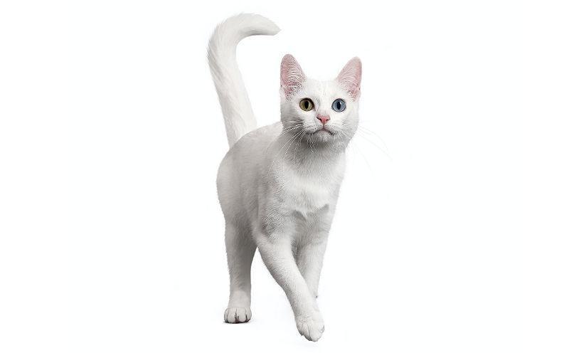 Кошка као-мани - главное фото