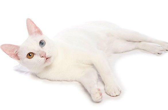 Као-мани - азиатская породы кошки