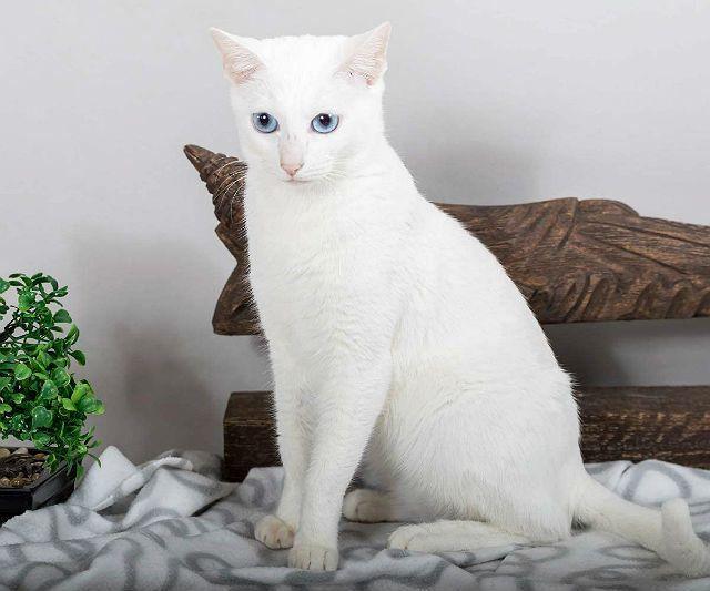Кошка као-мани - здоровье