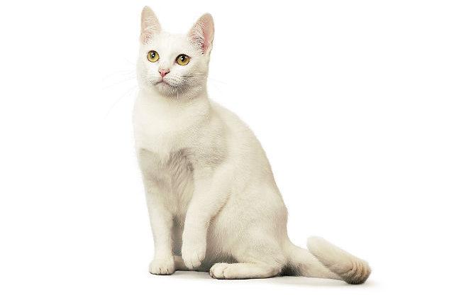 Кошка као-мани сидит
