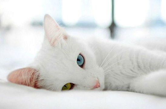 Кошка као-мани лежит