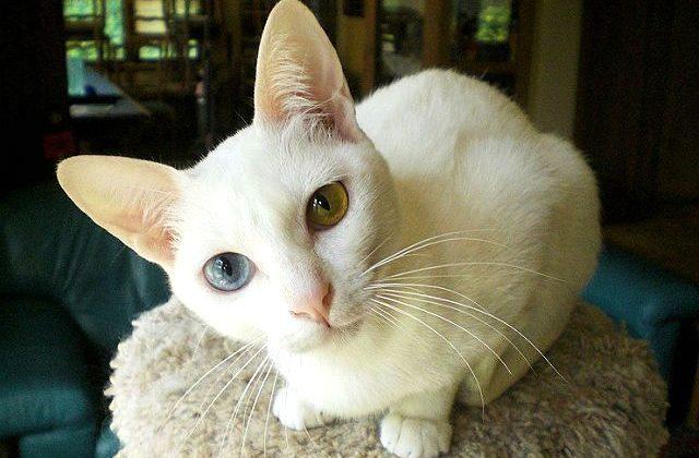Кошка као-мани с разноцветными глазами