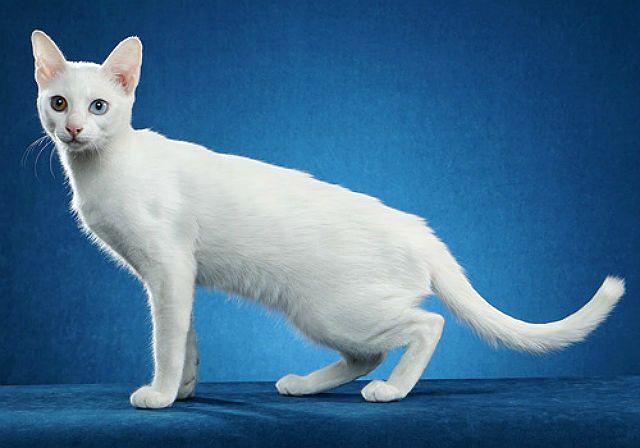 Кошка као-мани в полный рост
