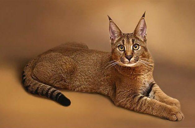 Кошка гибридной породы каракет