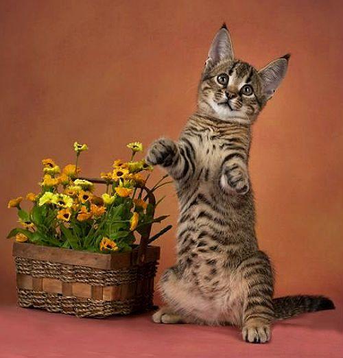 Котенок каракет