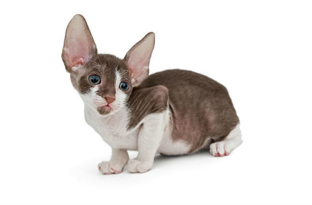 Корниш-рекс - котенок