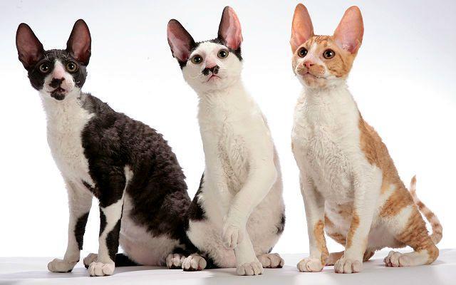 Кошка корниш-рекс - окрасы