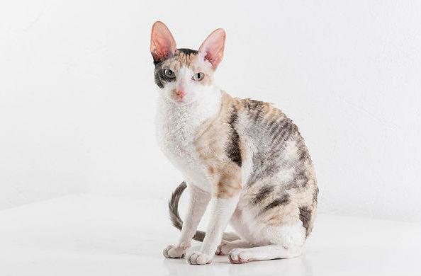 Кошка корниш-рекс трехцветная